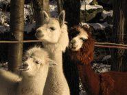 i simpaticissimi alpaca