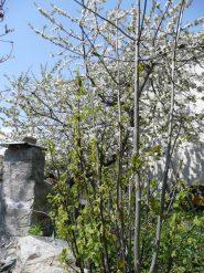 Ribes e ciliegi in fiore in borgata  Maffiotto