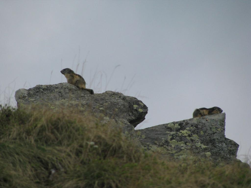 Marmotte in siesta