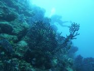 gorgonie e subaqueo