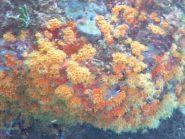 Madrepora arancione