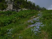 fioritura all'alpe liliet