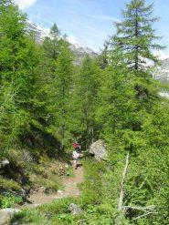 il sentiero si inerpica fra alberi secolari.....