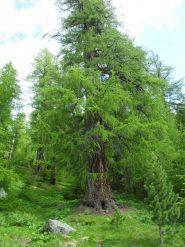 l'imponenza dell'albero secolare visibile dalla poderale al bivio col sentierino