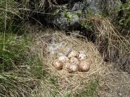 Uova di Pernice Bianca