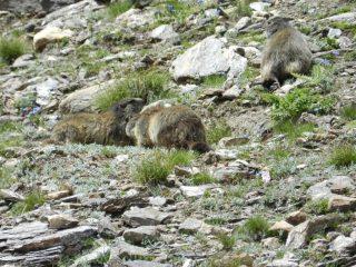 Marmotte poco prima del rifugio Claudio e Bruno
