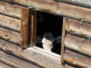 Mucca alla finestra