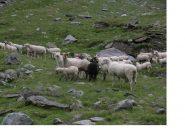 Nel Vallone della Lombarde i greggi non mancano...