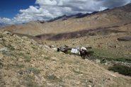 arrivano i cavalli con i nostri materiali (11-8-2011)