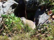 Marmotta in posa