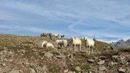 Pecore curiose....