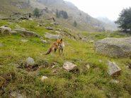 La volpe di frazione Chiapili