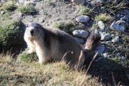 altra marmotta che si è gentilmente concessa al fotografo ! (1-10-2011)