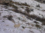 pecore ed agnellini nella neve...