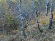 camoscio nel bosco