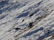 07 - Stambecchi al pascolo nella neve