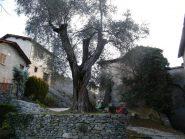 olivo secolare a saorge