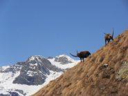 05 - con i loro possenti capibranco, sullo sfondo Gros Muttet e Rocca d'Ambin