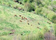 Mucche al pascolo sotto l'Alpesisa
