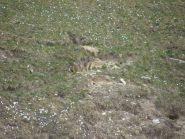 marmotte curiose