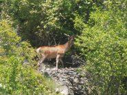 02 - Magnifico cervo visto vicino ad Eclause