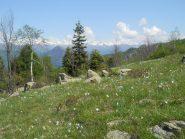fioritura di narcisi al Col Portia.