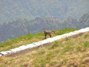 Camozza all'Alpe Superiore