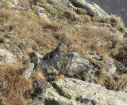 Pernice bianca by summer (lagopus muta?)