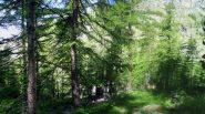nel bosco iniziale fra larici secolari....