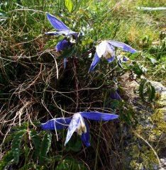 la rara e bella clematis alpina