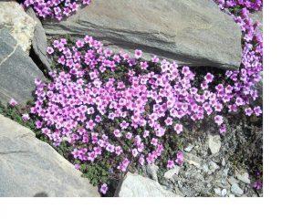 Flora alpina...