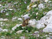 Marmotta distratta