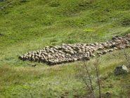 ..il lavoro del cane da pastore