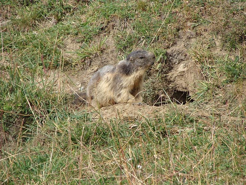 qualche marmotta