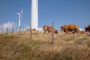 mucche con pale