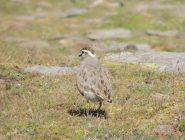 Piviere tortolino(uccello protetto- coppia in migrazione) in vetta al Diei