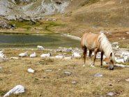 Mucche e cavallo al Raschera
