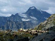 pecore e Ciamarella