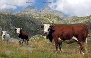 Mucche curiose