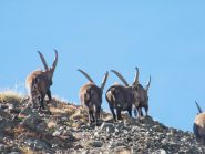 begli esemplari di stambecco (capra ibex)