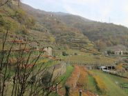 Le vigne a  tupiun a Cesnola