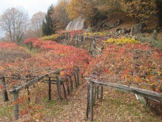 autunno  nella vigna