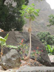 Albero di papaya (se non sbaglio...)