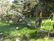 Albero spezzato da un fulmine o dal vento e ricresciuto
