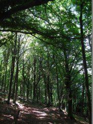 I faggi altissimi sul versante nord della Rocca