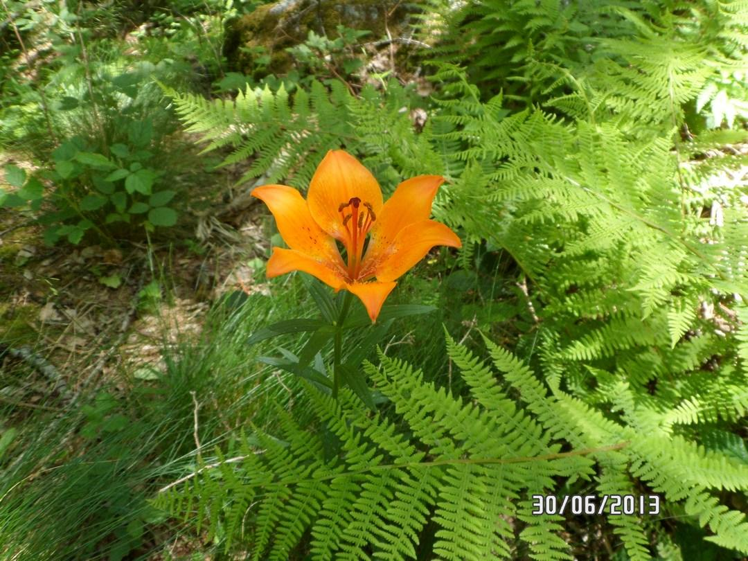 Giglio di San Giovanni - Lilium Bulbiferum L.