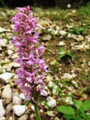 Orchidea selvatica