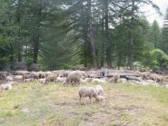 pecore sopra le casset