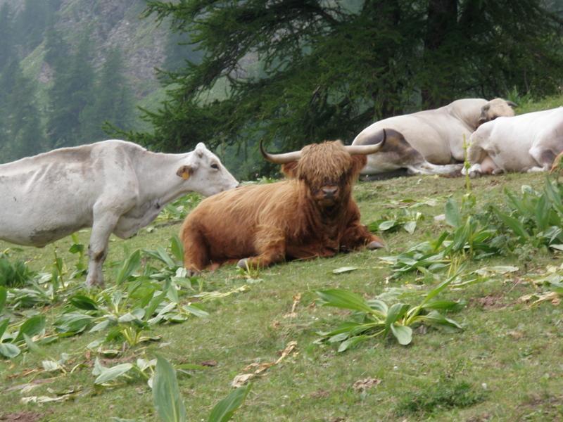 vacca scozzese in villeggiatura alle Grange del Rio
