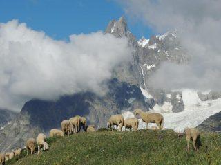 un gregge di pecore nei pressi dell'Alpe Leuchey superiore